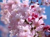 「桜」の検索結果 - Yahoo!検索(画像.jpg